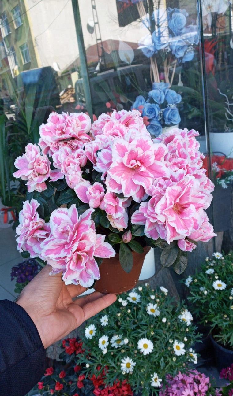 açelya çiçek